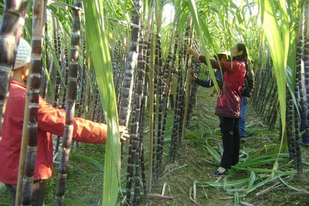 Sugar industry eyes solid year after a bitter 2020 hinh anh 1
