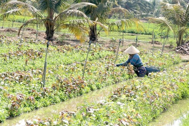 Tien Giang expands crop-rotation cultivation, improves productivity hinh anh 1