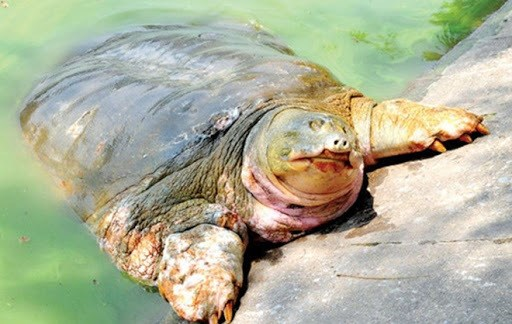 Danko Group funds project to protect Hoan Kiem turtles hinh anh 1