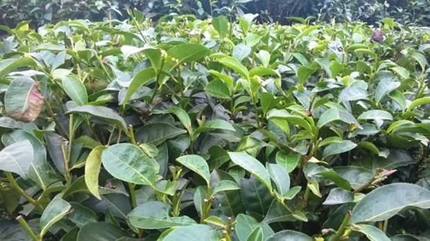 Tea exports see bright spot in January-February hinh anh 1