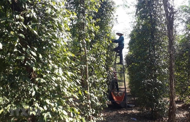 Public, private sectors partner to boost sustainable peppercorn industry hinh anh 1