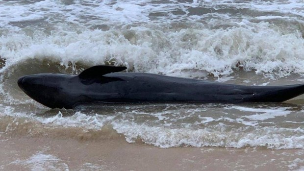 300-kg whale washes up on Phu Yen's beach hinh anh 1