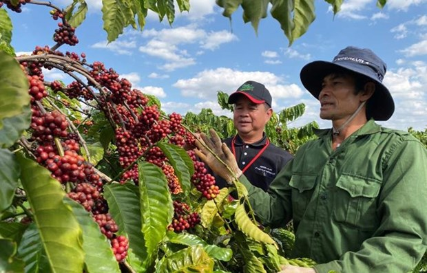 Coffee exports fall by over 11 percent in Q1 hinh anh 1