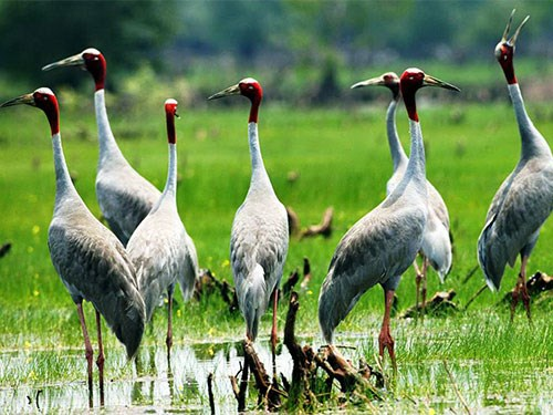 Red-crowned cranes return to Mekong Delta hinh anh 1