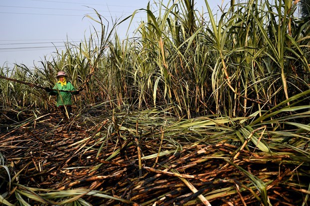 Thailand approves 192-mln-USD subsidy to reduce burning of sugarcane fields hinh anh 1