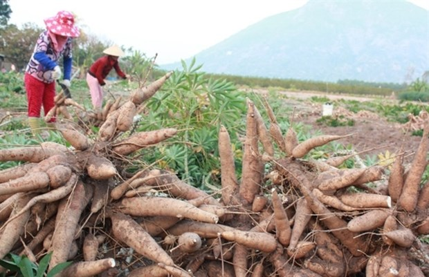Cassava exports rise sharply in four months hinh anh 1