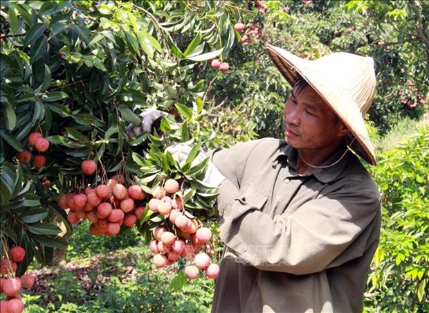 Vietnam ready to monitor lychee exports to Japan hinh anh 1