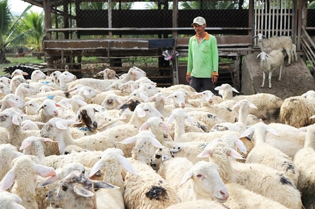 Ninh Thuan raises baa for sheep farming hinh anh 1
