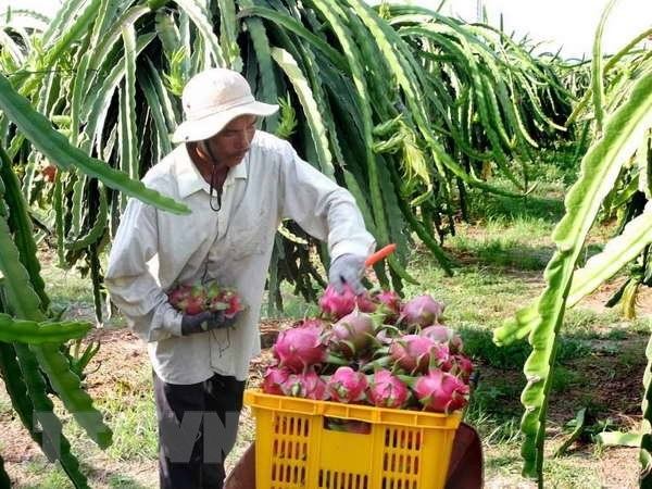 Tien Giang develops dragon fruit growing area for export hinh anh 1