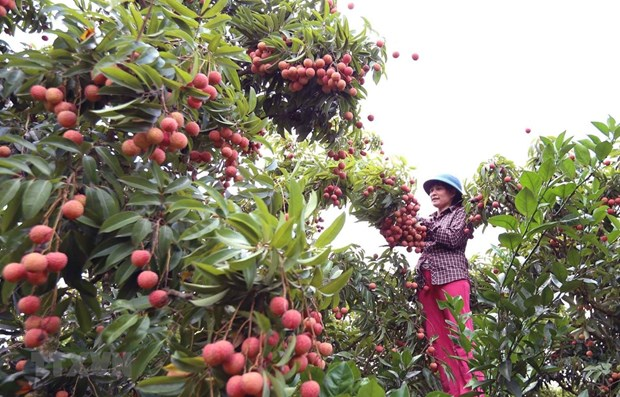 """Hai Duong enjoys good sale of """"thieu"""" lychee on e-commerce platforms hinh anh 1"""