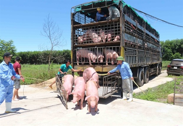 Import of live pigs from Thailand suspended from June 30 hinh anh 1
