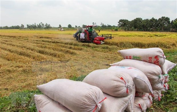 Northern region enjoys record rice output in 2020-2021 Winter-Spring crop hinh anh 1
