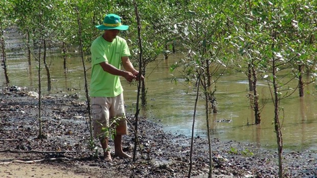 Tra Vinh: Shrimp-breeding in mangroves protects forest coverage, offers stable income hinh anh 1