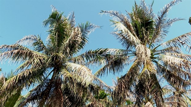 Country's largest coconut growing province manages to control imported pest hinh anh 1