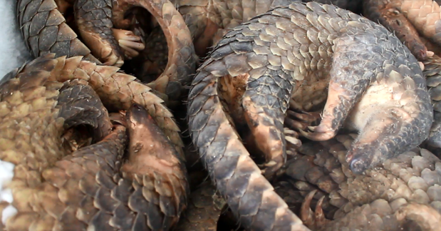 Man jailed for storing 780 kg of African pangolin scales hinh anh 1