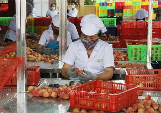 Hai Duong: Over half of estimated lychee output sold before main-crop harvest hinh anh 1