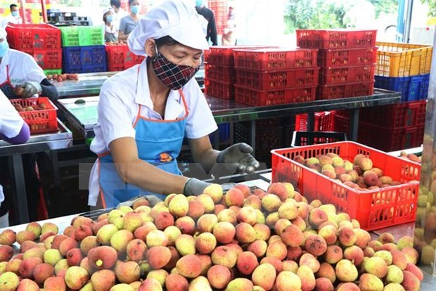Hai Duong exports lychee to Thailand for first time hinh anh 1