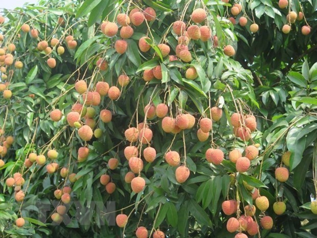 Teleconference discusses consumption of Bac Giang lychees hinh anh 1