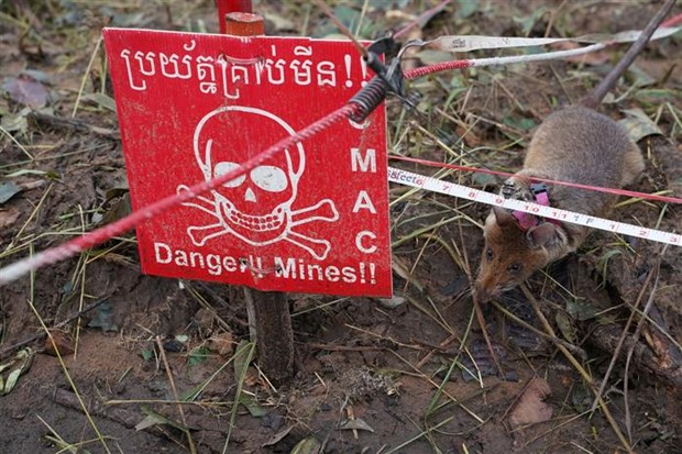 Cambodia deploys new team of mine sniffing rats hinh anh 1