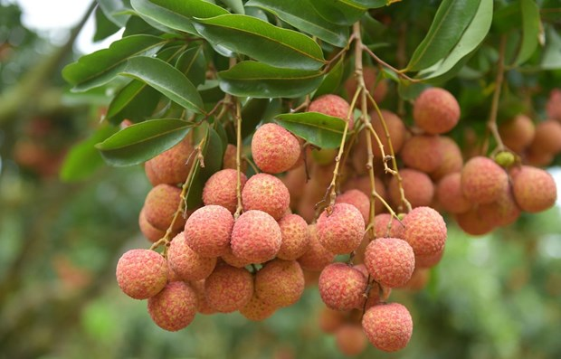 Vietnamese lychees confident of winning over consumer taste in Netherlands hinh anh 1