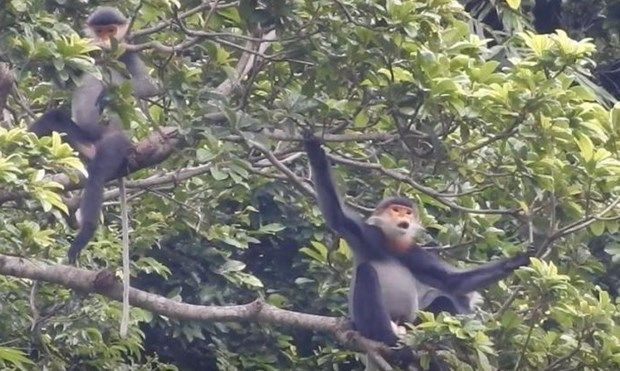 Quang Nam moves to conserve grey-shanked douc langurs hinh anh 1