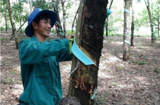 Vietnamese rubber producers benefit from higher prices in Q2 hinh anh 1