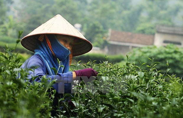 Thai Nguyen tea strives to access global market hinh anh 1
