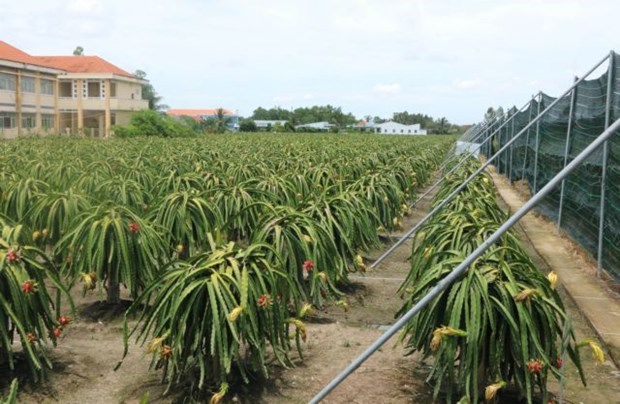 Off-season fruits prove lucrative for Mekong Delta farmers hinh anh 1