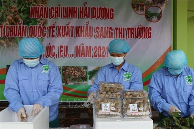 Hai Duong begins harvesting longan for export hinh anh 2