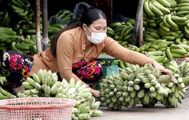 Ca Mau works to increase banana value, output hinh anh 1