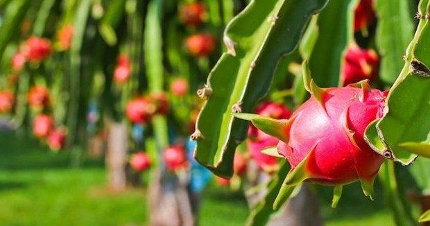 Measures sought to boost export of dragon fruit to India, Pakistan hinh anh 1
