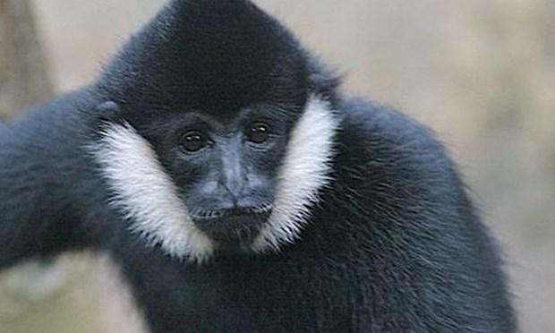 Vu Quang national park offers home for rare gibbon hinh anh 1