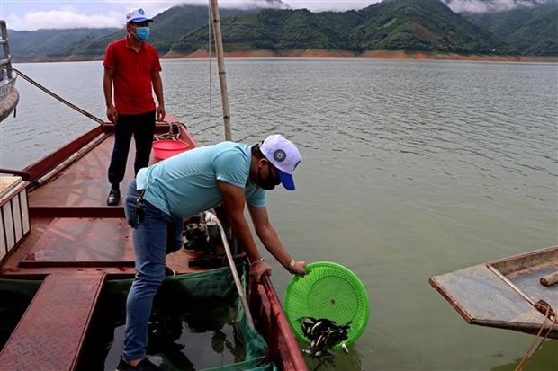 Hoa Binh releases 35,000 fish fry into Da River hinh anh 1