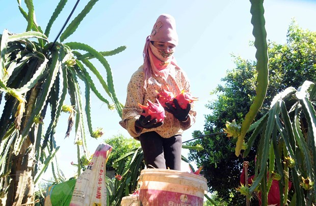 Son La exports 10 tonnes of red-flesh dragon fruit to Russia hinh anh 1