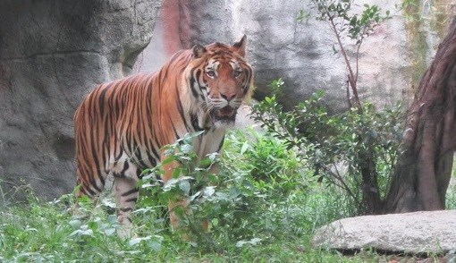 Measures sought to control tiger trading, conservation in Vietnam hinh anh 1