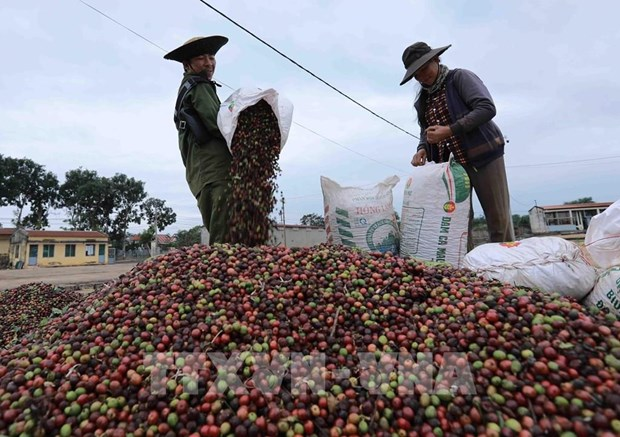 Vietnam's coffee exports to RoK likely to increase hinh anh 1