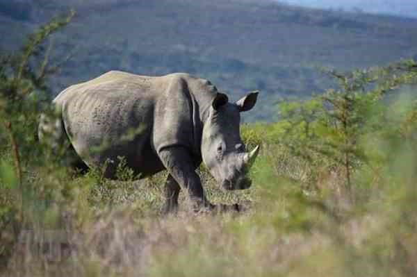 Public awareness about rhino conservation should be strengthened hinh anh 1