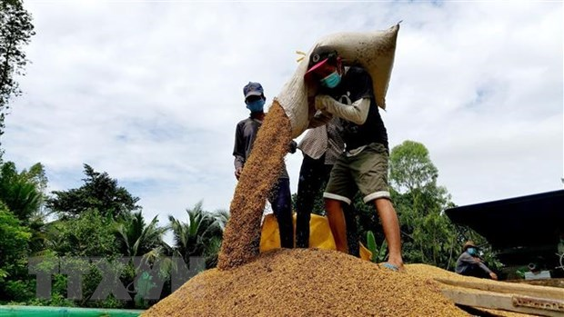 Vietnamese rice price increases in domestic, foreign markets hinh anh 1
