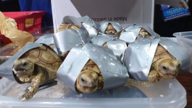 Philippine police find 1,500 turtles and tortoises in taped up luggage
