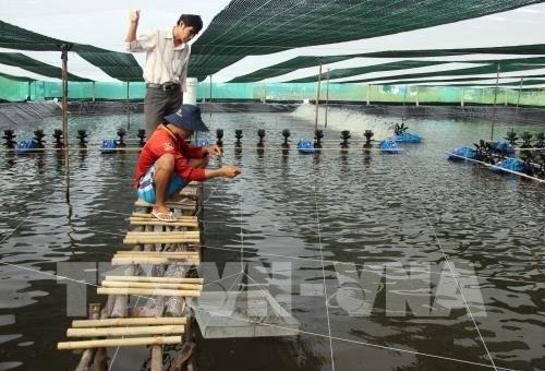 Ca Mau dense shrimp farming area expanded | Vietnam+